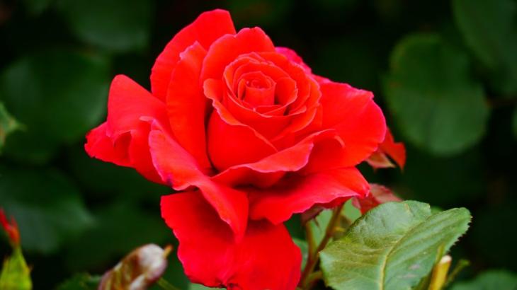 『バラ好き集合!』鶴舞公園、秋のバラ祭り♬