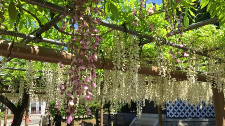 『藤が咲く』江南市曼陀羅寺へ自転車旅