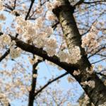 『お花見』香流川の桜:2018年No,1