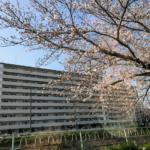 『お花見』香流川の桜:2018年No,2