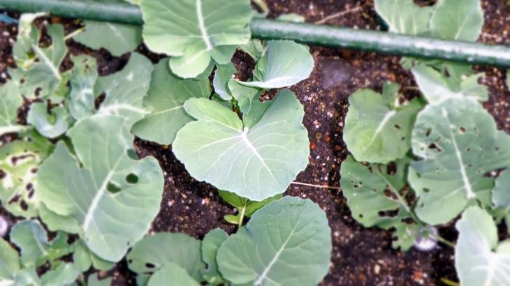 『家庭菜園』茎立ブロッコリー観察No.05♪